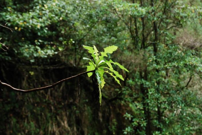 liść na lewadzie madera